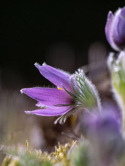Close-up of purple crocus flowers on land