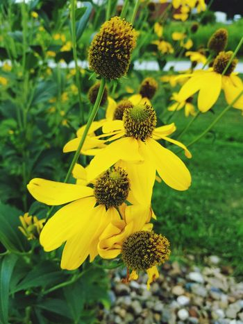 Flower sunflower Flower Yellow Plant Fragility Nature Petal Growth Flower Head Beauty In Nature Botany Alternative Medicine Outdoors Blossom Uncultivated Focus On Foreground Freshness Outdoor Pursuit Summer Sunflower No People