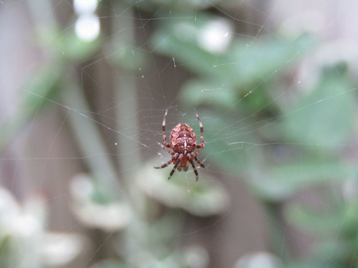 Common garden spider Animal Animal Leg Animal Themes Animal Wildlife Animals In The Wild Arachnid Arthropod Close-up Common Garden Spider Complexity Day Exoskeleton Focus On Foreground Fragility Insect Invertebrate Nature No People One Animal Outdoors Selective Focus Spider Spider Web Web