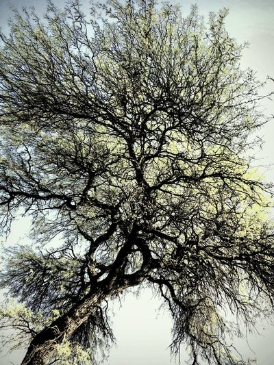 Tree Plant Low Angle View Sky Branch Nature No People Beauty In Nature Tranquility Silhouette Trunk Tree Trunk Outdoors Day Growth Tree Canopy