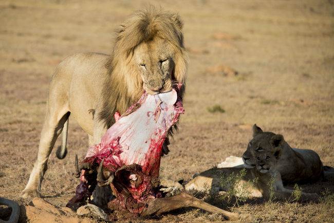 Lion feasts Animals In The Wild Eating Lion Wildlife & Nature Wildlife Photography Blood Delicious Food Fight For Your Life Hunting Life In The Wild Lion - Feline Lion Hunting Lioness Meat Parenting Protein Warthog Wild Lions Wildlife