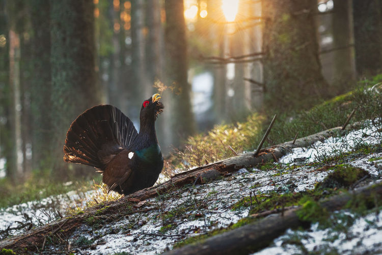 Capercaillie in the mating season from carpathian mountains, romania. wildlife photography of birds
