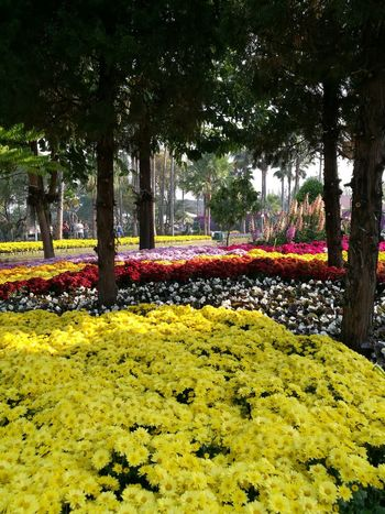 Chiangmai Thailand Beautiful Flowers,Plants & Garden Flowers, Nature And Beauty Tree Growth Park - Man Made Space Yellow Day Outdoors No People Flower Nature Beauty In Nature