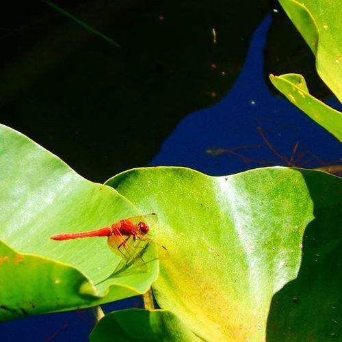 Redbug Lakelife Lillypad Oregoncoast
