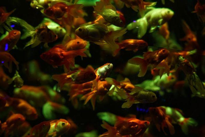 Swimming Goldfishes Goldfish In Water Selective Focus Capture The Moment Animal Themes Animal Photography Fish Photography Art Aquarium Aquarium Large Group Of Animals Underwater Light Up Your Life Aquarium Life GoldFish! Illuminated 金魚 アートアクアリウム2017 Tokyo,Japan
