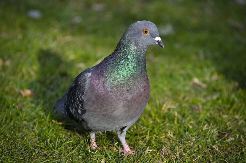 Close Up on a Dove Animal Animal Themes Animal Wildlife Animals In The Wild Bird Close-up Day Dove - Bird Field Focus On Foreground Grass Green Color Land Looking Nature No People One Animal Outdoors Pigeon