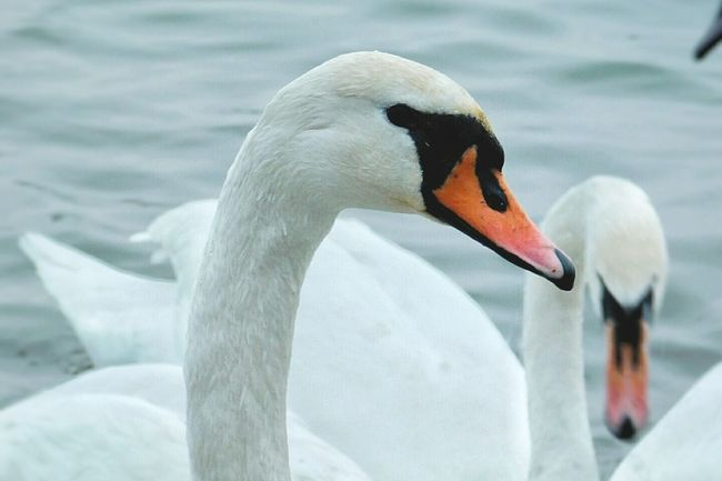Bird Beak Animals In The Wild Animal Themes Lake Close-up Animal Body Part White Color Water Bird Nature Swimming Wildlife One Animal Water Animal Swan Zoology Animal Neck Mute Swan No People Smederevo Swans On The Lake Day