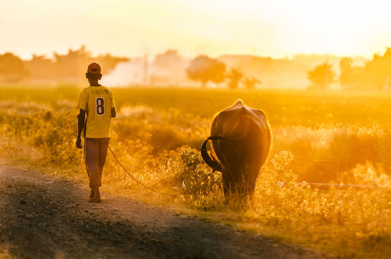 Rear view of man walking with buffalo during sunset