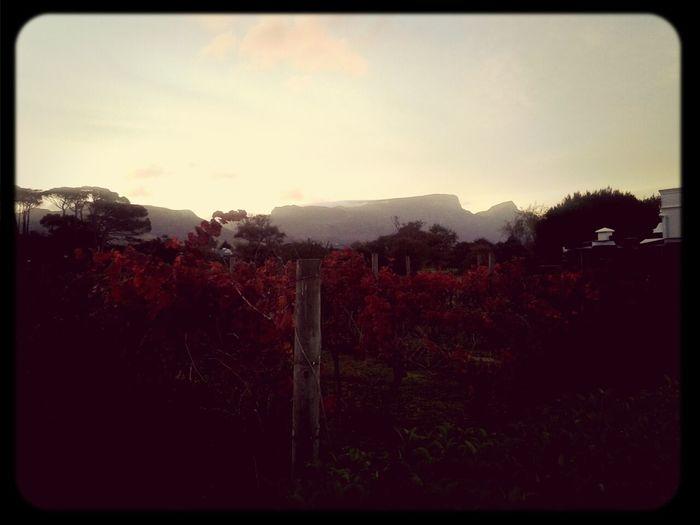 Near And Far Vineyards  Autumn Leaves Table Mountain