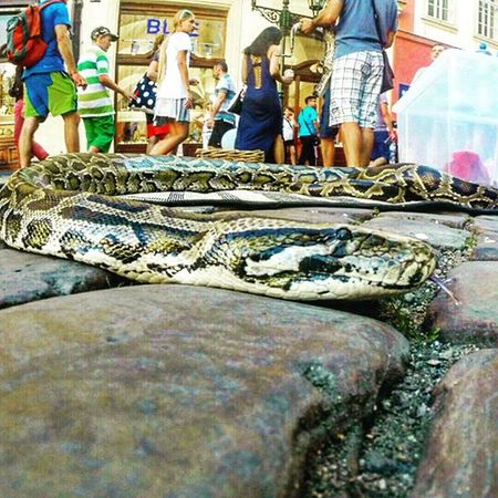 Snake Snakesofinstagram Snakes Slithering Slither Streetphotography Street Photography Ground Groundlevel Idontbite SnakesAndLadders Snakes Are Beautiful Tounge Tounge Out  Prague Cobblestone Cobblestones Cobblestone Streets Animals Animal_collection Gopro Timelapse Action Shot  The Action Photographer - 2015 EyeEm Awards Nationalgeographic_