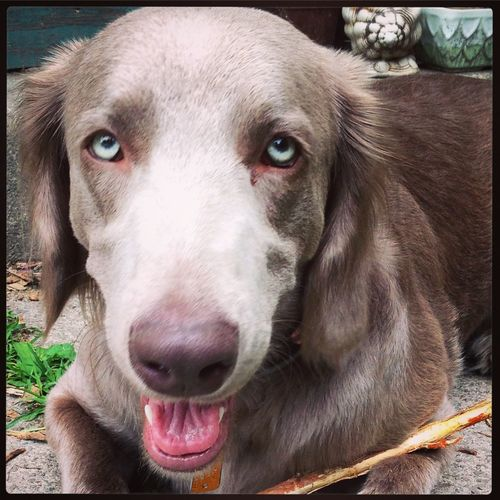 Our longhaired Weimaraner Libby.
