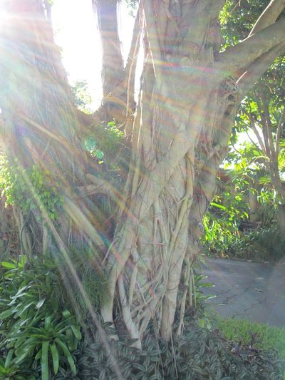 Good Morning Sunshine Beautiful Day Along The Way Morning Walk Hugging A Tree Hugging Trees Trees Glitch Sun Glare Roots Strangler Fig