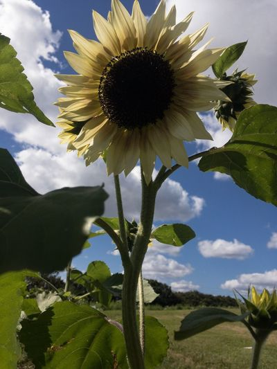 Beauty In Nature Growth Freshness Vulnerability  Sunflower Close-up Sky