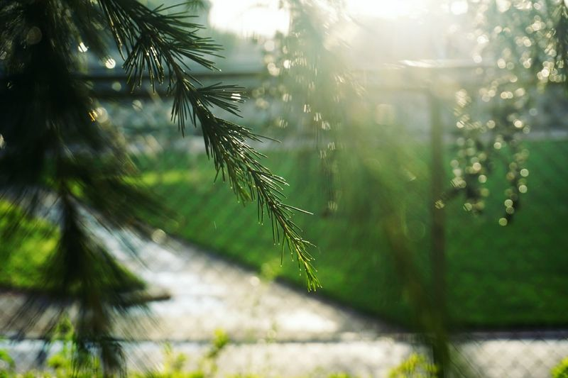 Nature Tree Sunlight Outdoors No People Fog Pine Tree Pinaceae Day Beauty In Nature Leaf Plant Branch Trapped Close-up Beauty Freshness Defocused Sky Spruce Tree