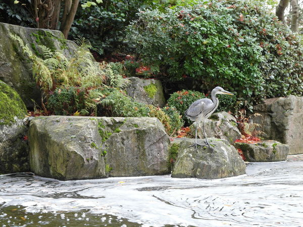 Crane Holland Park Japanese Garden Holland Park Kensington Holland Park Kyoto Garden Holland Park London Animal Animal Themes Animal Wildlife Animals In The Wild Beauty In Nature Bird Crane Day Flowing Water Nature No People Outdoors Perching Plant Rock Rock - Object Solid Tree Vertebrate Water