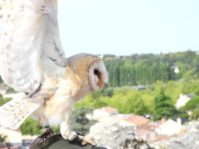 Nikonp1000 Owl