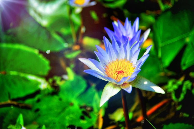 ดอกบัว Flower Nature Fragility Multi Colored Beauty In Nature Plant Freshness Flower Head Leaf Growth Day Living Organism Close-up Outdoors Purple Petal No People Green Color Beauty Water