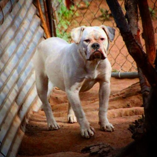 One of a Kind's Candy-Cain He is a SHE! lol Oneofakindbulldogs Bulldogs Oldeenglishbulldogges OEB oldenglishbulldogs victorianbulldogs oeb bulldog beastmode tank oldeenglishbulldogge oldenglishbulldog dogoftheday dog dogs