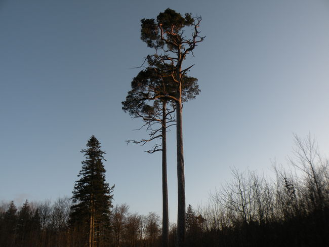 Tree Pinaceae Nature Tree Trunk No People Sky Beauty In Nature Landscape Silhouette Outdoors Tree Area Day Monkey Puzzle Tree Araucania Araucaria Araucana Chilean Pine Abetræ Abetræer Conifer  - in The Danish Countryside
