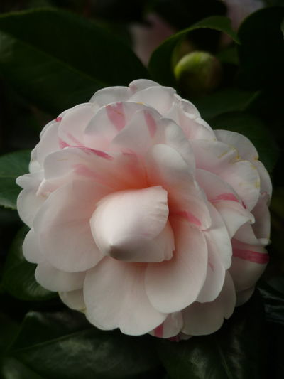 Camellia Camellia Aleq Beauty In Nature Camellia Flower Camellia Flowers Close-up Flower Flower Head Flowering Plant Focus On Foreground Fragility Freshness Growth Inflorescence Leaf Nature No People Petal Pink Color Plant Plant Part Rosé Vulnerability