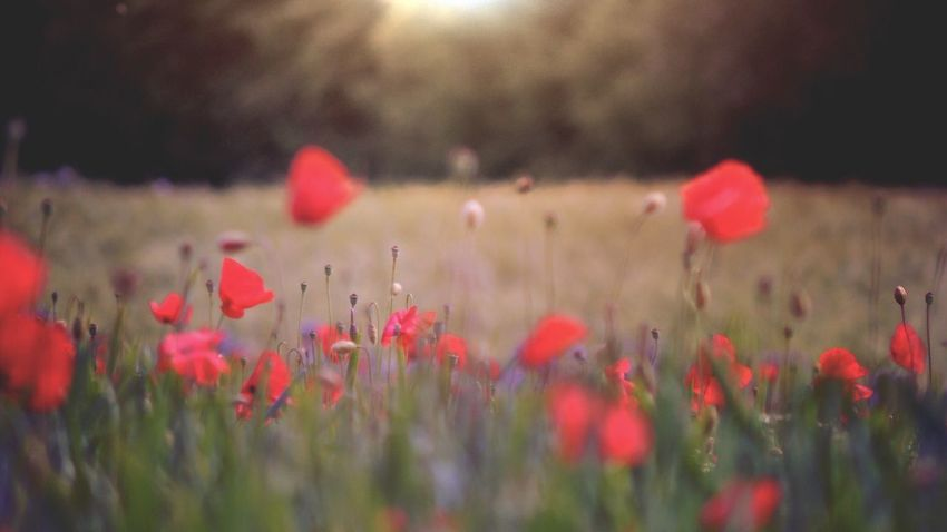 ᴾᴼᴾᴾᴵᴱˢ, ᵀᴴᴱᵞ'ᴿᴱ ᴱᵛᴱᴿᵞᵂᴴᴱᴿᴱ Field Red Flare Serene Focus Focus On Foreground Flowers Poppy Tadaa Tadaa Community Nature Flowering Plant Flower Plant Beauty In Nature Growth Freshness Red Nature Field No People Land Flower Head Petal Selective Focus