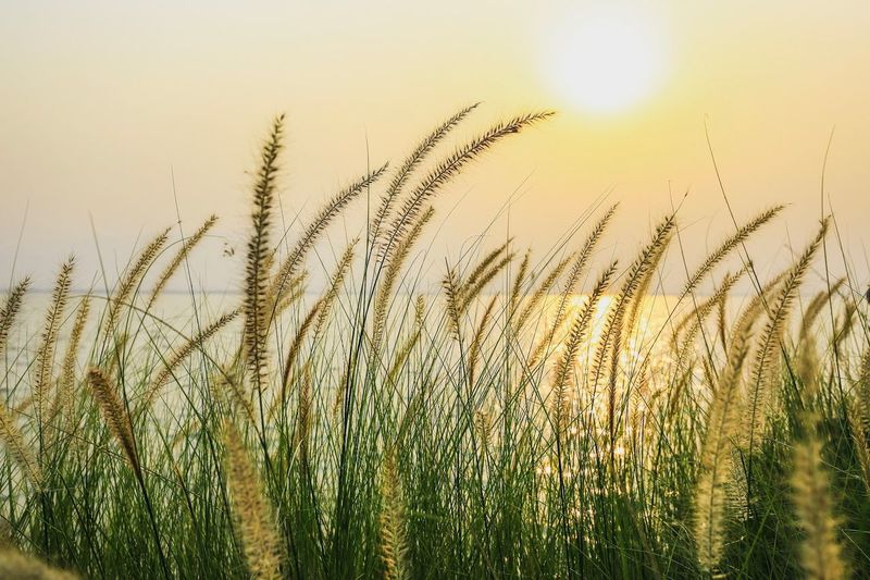 Growth Plant Nature Beauty In Nature Sky Tranquility No People Field Land Sunlight Day Agriculture Scenics - Nature Outdoors Grass Sunset Backgrounds Landscape Tranquil Scene