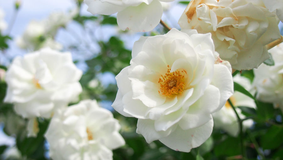 Pure love, pure rose... Green Abundance Beauty In Nature Blooming Blossom Botany Close-up Floral Flower Flower Head Flowering Plant Freshness Growth Nature Outdoors Petal Plant Summer Vibrant Color White Color Yellow