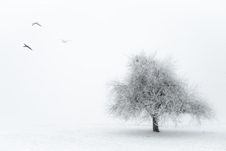 Beauty In Nature Bird Cold Temperature Flying Nature No People Outdoors Snow Tree Winter Winter Trees Winter Wonderland Olympus OM-D E-M5 Mk.II Schnee Snow ❄ Blackandwhite White Background Winterwonderland Wintertime Nebel Fog Fine Art Lost In The Landscape