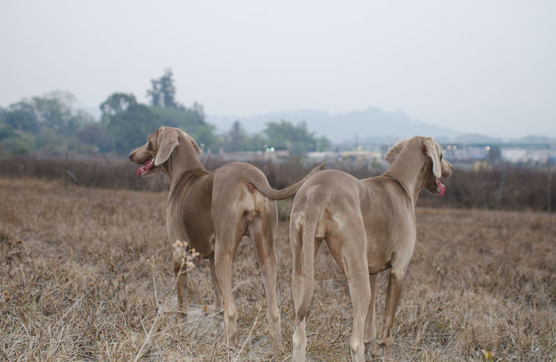 Weimaraners Standing On Field Against Sky