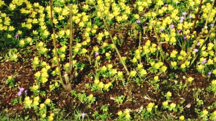 Die allerersten Frühlings Blüher Nature Photography Flower Flowerporn Flower Collection Homeandgarden Springtime Flowers Springtime💛 2018 Flowers Yello Flowers