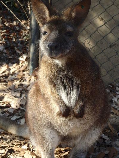 One Animal Kangaroo Zoo Animal Japan Sitting No People Close-up Looking