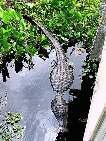 Florida Swamp Gators Florida Gainesville Fl Swamp Swamplife Alligator The Great Outdoors - 2017 EyeEm Awards The Great Outdoors - 2017 EyeEm Awards