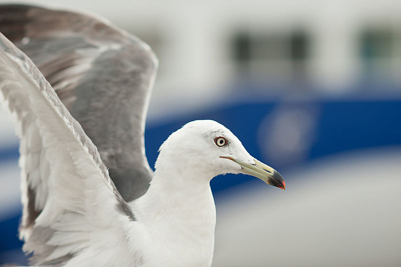 Seagull near the sea and ship in the natural environment. close-up portrait of a sea bird.