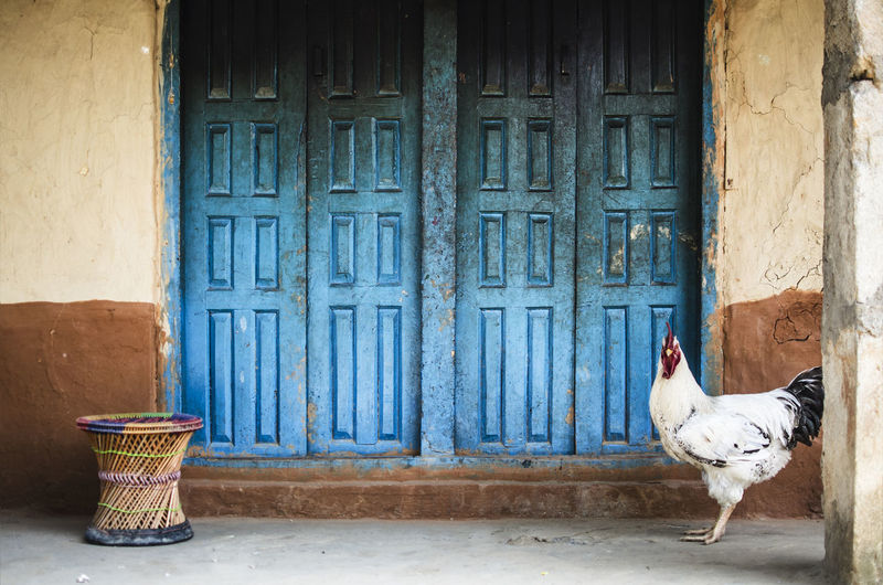 ASIA Chicken Exotic Nepal Travel Animal Animal Themes Architecture Bird Blue Bucolic Building Day Domestic Animals Door Entrance No People Pets Wall - Building Feature Wood - Material