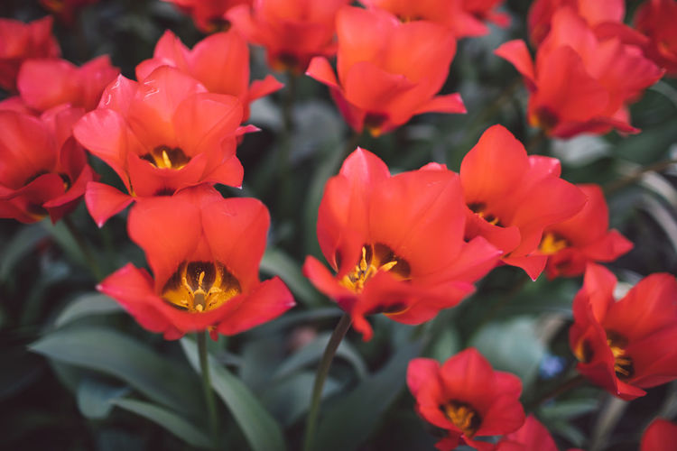 Tulip Tulips Flowering Plant Flower Petal Fragility Vulnerability  Beauty In Nature Plant Freshness Growth Inflorescence Flower Head Close-up Nature No People Day Red Outdoors Botany Focus On Foreground Garden Pollen