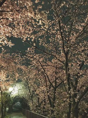 Sakura Path Hanami Trees Yozakura