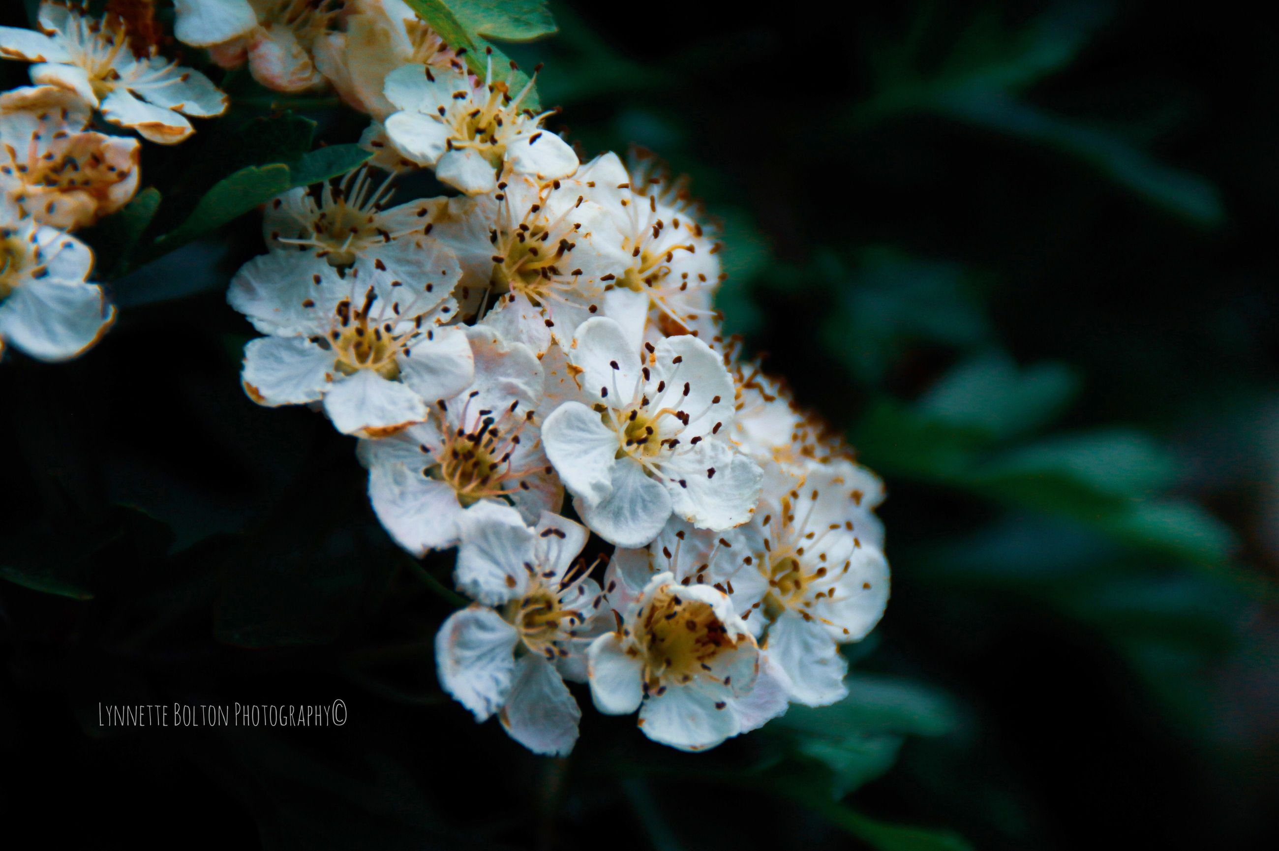 flower, flowering plant, plant, freshness, beauty in nature, petal, growth, fragility, flower head, vulnerability, close-up, inflorescence, pollen, white color, nature, no people, day, focus on foreground, outdoors, selective focus, cherry blossom