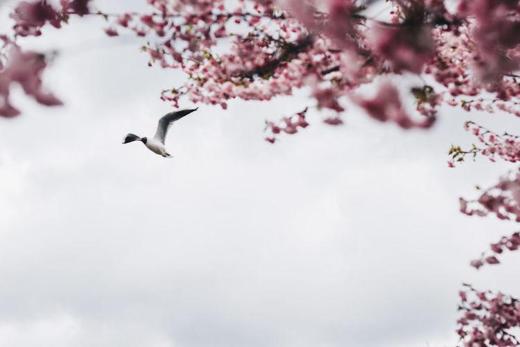 Riga Latvia Pinkflower Cherry Blossoms Sakura Blossom Sakura Bird Tree Spread Wings Flying Flower Full Length Mid-air Pink Color Sky Cherry Blossom Cherry Tree Blossom Springtime