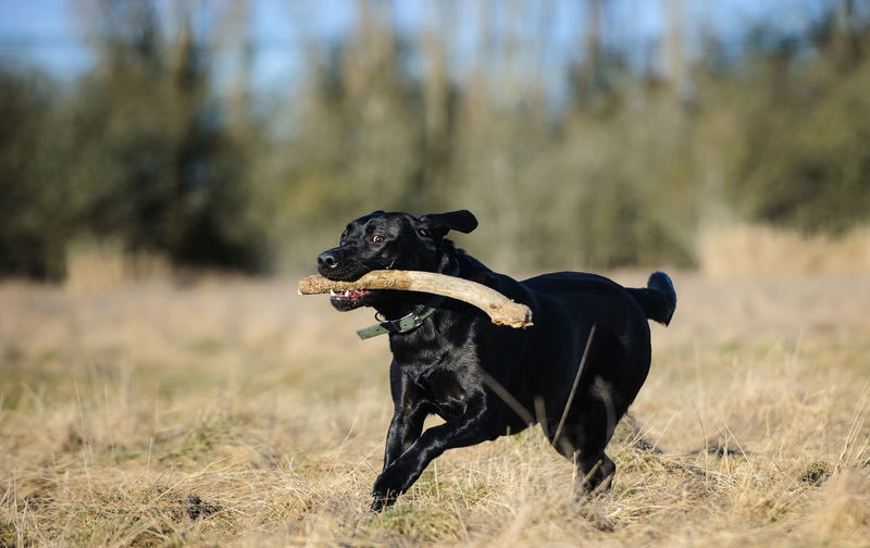 Black Labrador Retriever dog Animal Theme Animal Themes Black Black Lab Black Labrador Canine Day Dog Field Grass Lab Labrador Retriever No People One Animal Outdoors Retriever Running