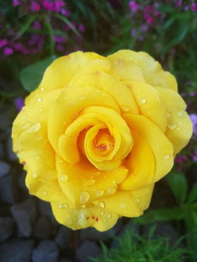 Flower Rose - Flower Petal Yellow Nature Beauty In Nature Flower Head Freshness Plant Growth Beauty Garden Flowers 🌹🌞beauty