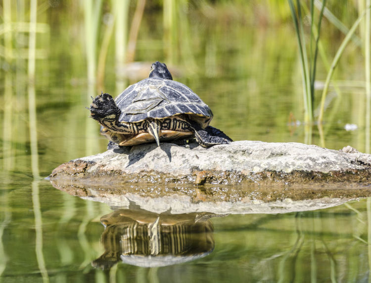 Ballerina Animal Themes Animal Wildlife Animals In The Wild Beauty In Nature Day Lake Nature No People One Animal Outdoors Reflection Reptile Stretching Tortoise Turtle Water