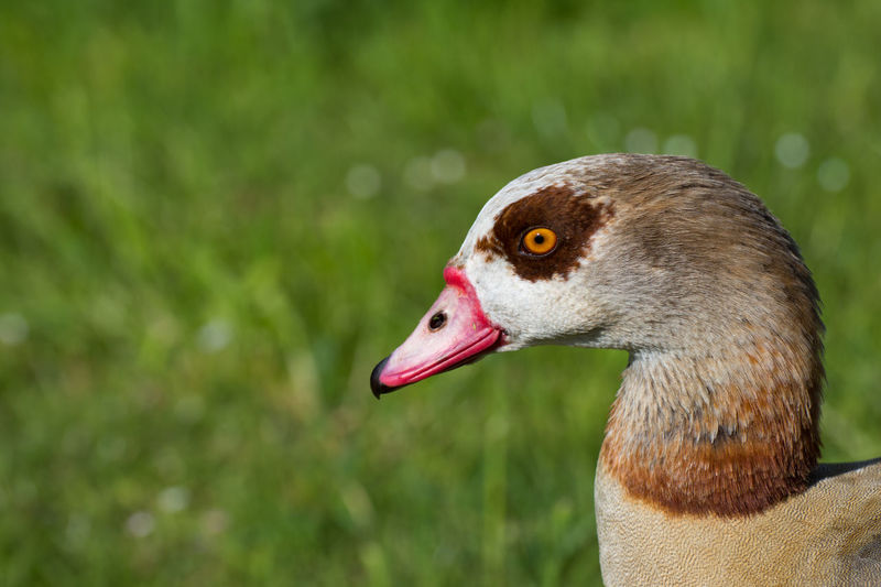 Alopochen Aegyptiaca Animal Themes Animal Wildlife Animals In The Wild Bird Close-up Egyptian Goose Focus On Foreground Goose Nature Nilgans No People One Animal Outdoors