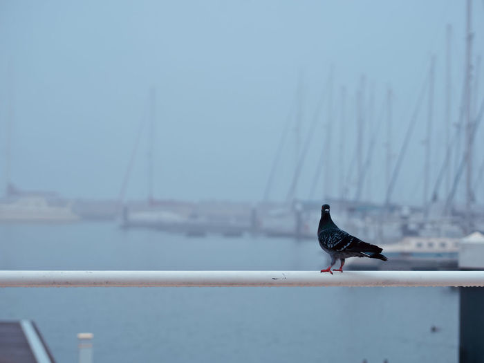 Animal Animal Themes Vertebrate Animal Wildlife Bird Animals In The Wild One Animal Perching Water Day Focus On Foreground No People Railing Nature Outdoors Nautical Vessel Black Color Sky Sea