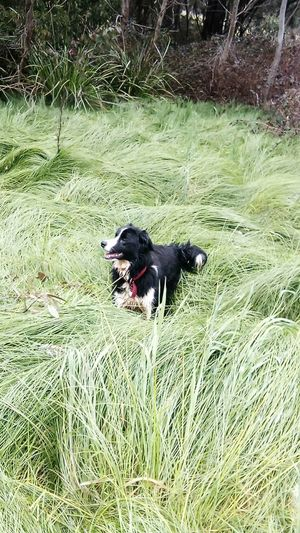 Grass Animal Themes Pets Domestic Animals Dog One Animal Tranquility Grassy Day Nature Outdoors Summer Uncultivated No People Freshness Border Collie Bordercollie  Border Collies Beauty In Nature Nature Season  Springtime Non-urban Scene