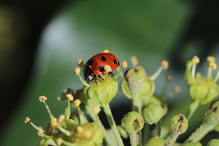 Animal Wildlife Insect Animal Themes Animal Animals In The Wild Plant No People Beauty In Nature Flower Close-up Beetle Fragility Ladybug Vulnerability  Nature Flowering Plant Focus On Foreground Growth One Animal