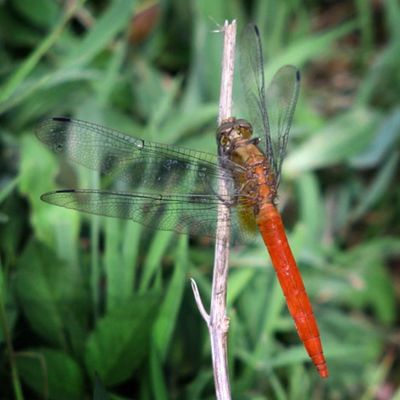 Si merah....Ig_dragonflies Dragonfly_of_the_day Dragonflies Dragonfly tgif_macro tgif_insects df_macro