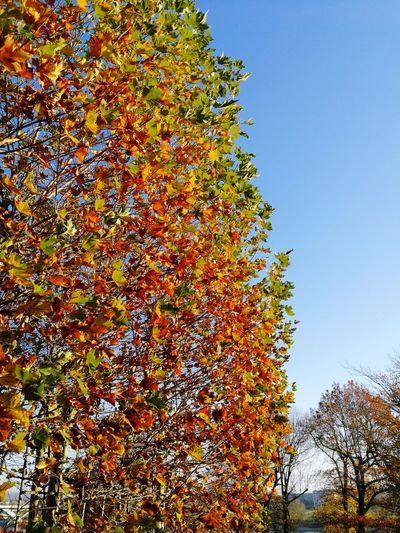 Mobilephotography Afternoon Light Blue Sky Colors Autumn Tree Multi Colored Sky Close-up Fall Leaves Autumn Collection