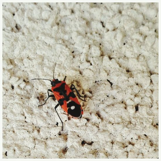 Corizus hyoscyami - cosiddetta cimice carabiniera. Corizus Hyoscyami Cimice Cimice Carabiniera Entomology Smartphone Photography Red Insect Leaf High Angle View Close-up Animal Themes