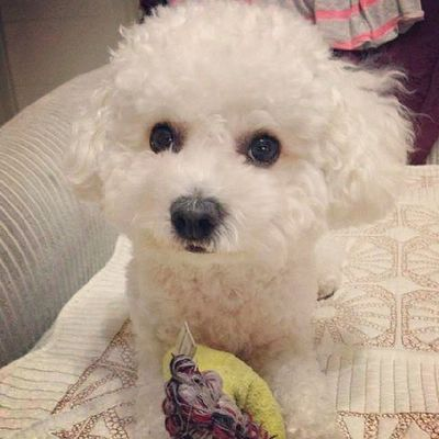 Hey!It's my toy,ok? Bichon Bichonfrise Cute Puppy