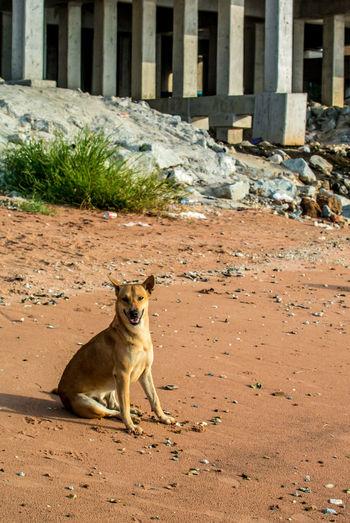 Dog at beach Abandoned Animal Beach Beach Day Beach Life Chonburi ,Thailand Dog Domestic Animals Look At Camera Outdoor Pet Time Yellow Dog